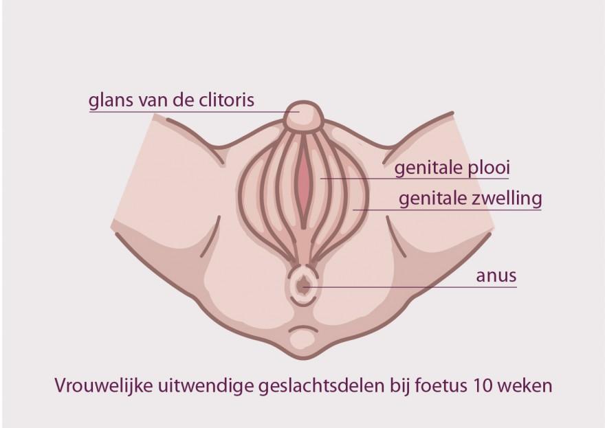 clitoris bij foetus